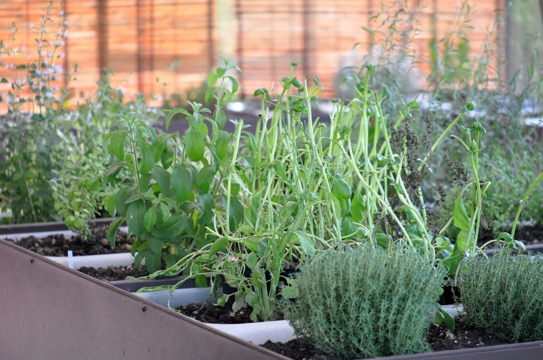 piante aromatiche, Antica Osteria Cera, Chef Cera, Campagna Lupia